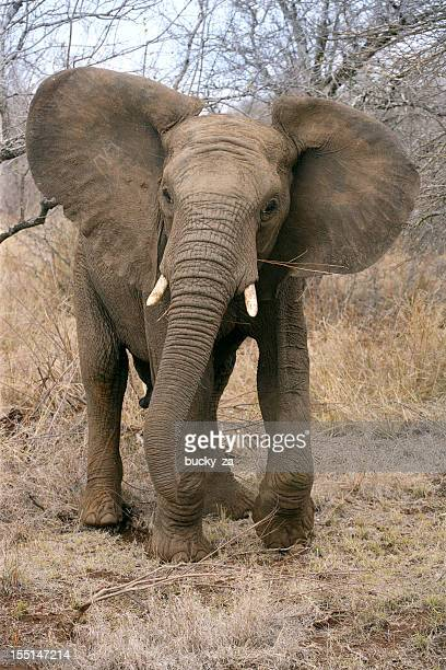 Young African elephant with ears open wide in warning gesture.