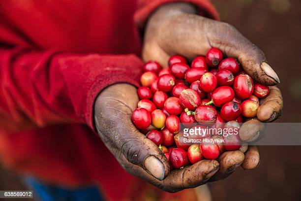 Young African woman showing freshly picked coffee cherries, East Africa
