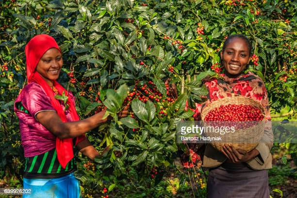 Young African women collecting coffee cherries, East Africa