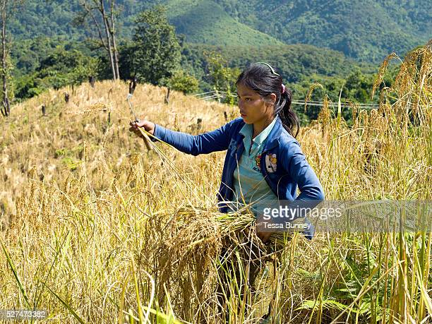 A young Akha Pouli ethnic minority woman harvesting glutinous rice using a sickle on an upland field Ban Pichermai Phongsaly province Lao PDR...