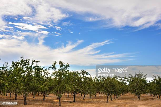 Young almond orchard just after harvest
