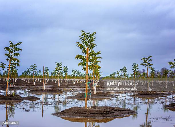 Young almond orchard
