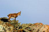 Young Alpine Ibex -Capra ibex-, Canton of Valais, Switzerland