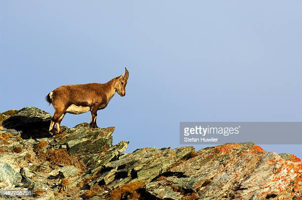 Young Alpine Ibex -Capra ibex-, Canton of Valais, Switzerland