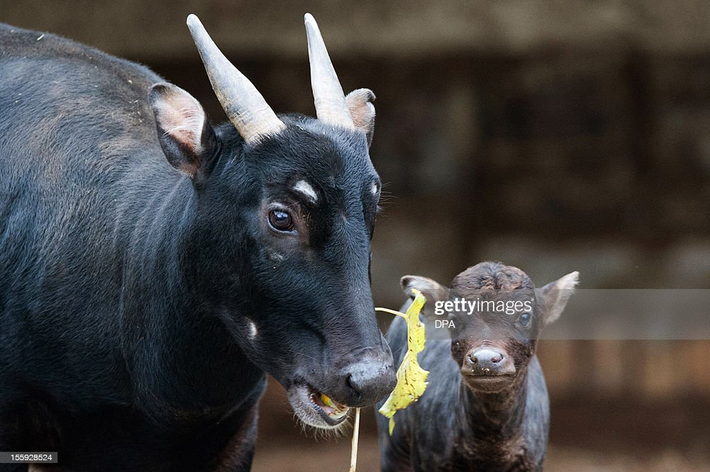 A young anoas bull stands next to its mother Cora in their enclosure at the zoo Berlin, on November 9, 2012. Anoas are the smallest wild cow that origins are in Asia. OUT