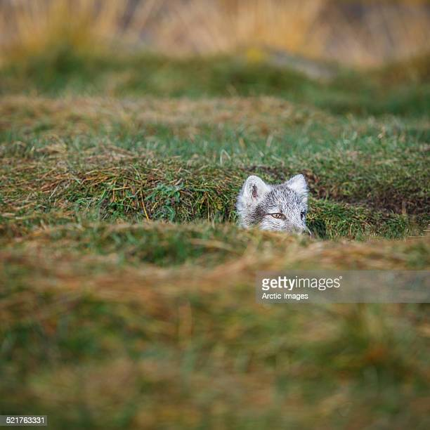 Young Arctic Fox, Iceland