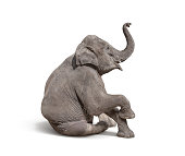 young baby elephant sit down to show isolated on white background with clipping path