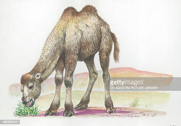 Young Bactrian camel illustration
