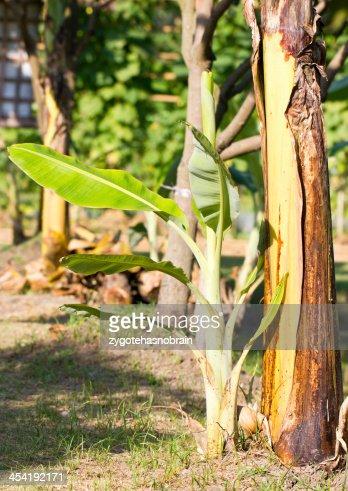 Young Bananero. : Foto de stock