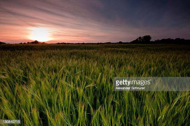 Young barley field (Hordeum vulgare) in the last light of the evening, sunset, in Achried near Radolfzell, Baden-Wuerttemberg, Germany, Europe
