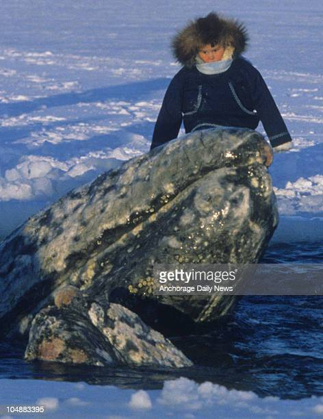 A young Barrow resident watches two California gray whales surface in a breathing hole in the ice pack off Point Barrow in October 1988 The...