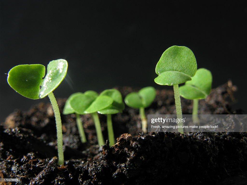Young Basil Seedlings