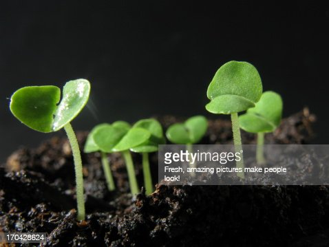 Young Basil Seedlings