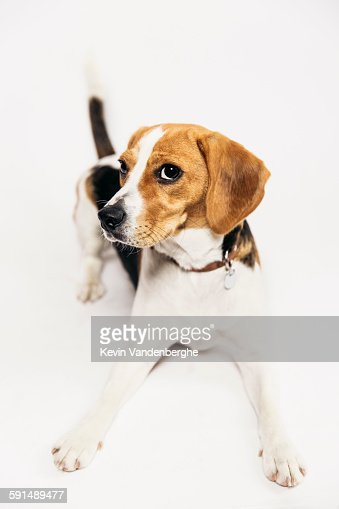 Young beagle in the studio