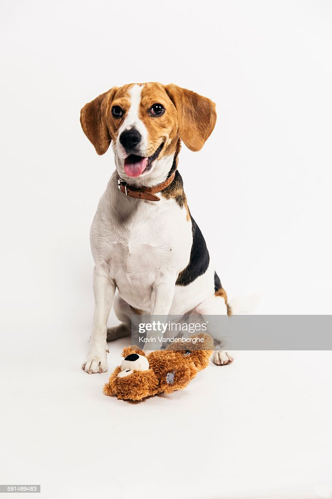 Young beagle with his bear