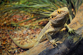 One young bearded dragon in a terrarium, leaning against a log and looking in the camera with disdain