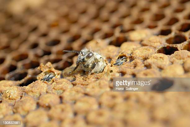 Young Bee (Apis mellifera) hatching from a brood comb, other bees have already opened the cells