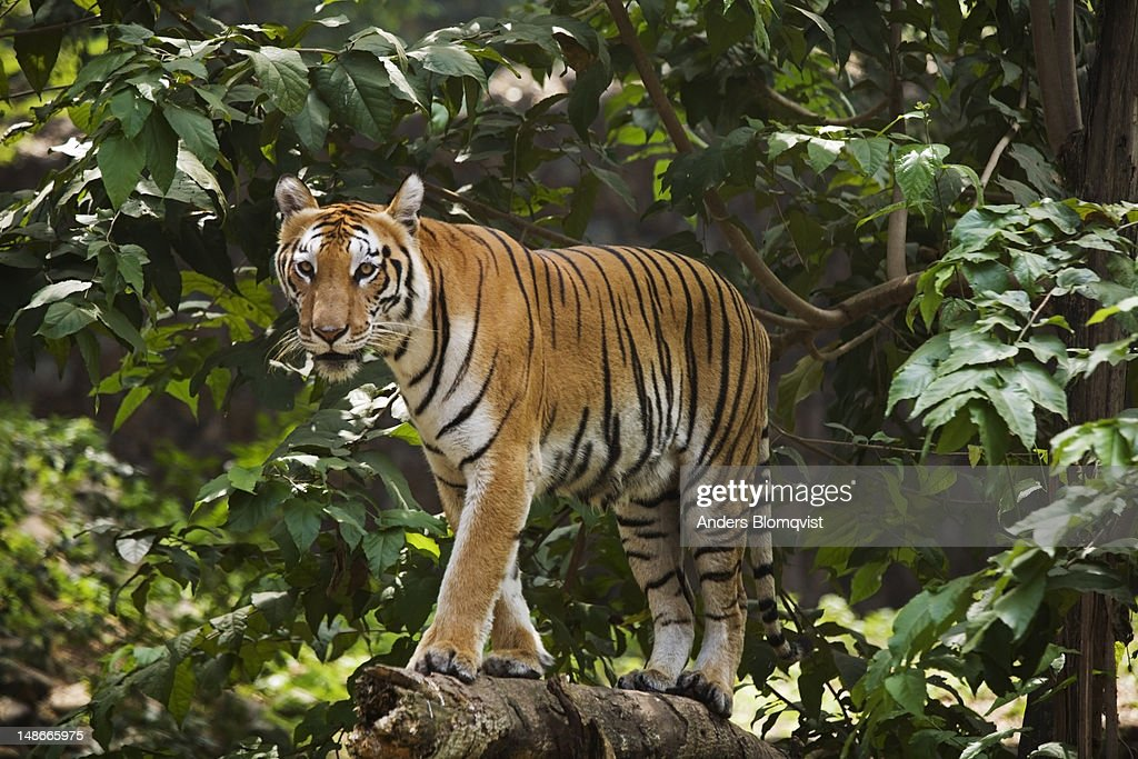 Young Bengal tiger (Panthera tigris) in Zoological Gardens.