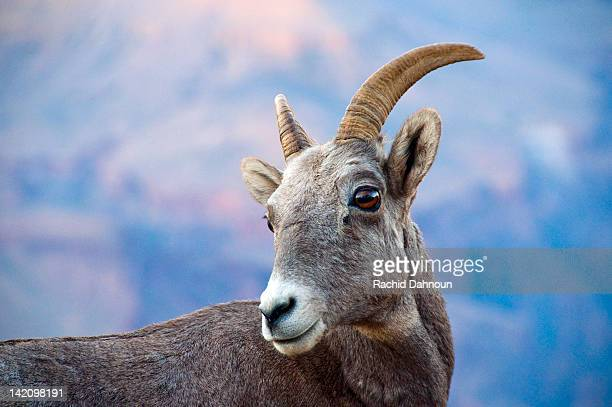A young bighorn sheep at dusk in Grand Canyon National Park, Arizona.