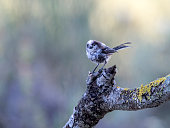 Young bird. White Wagtail (Motacilla alba) , Put on a trunk. It is a species of bird paseriforme of the family Motacillidae . Spain, Europe.