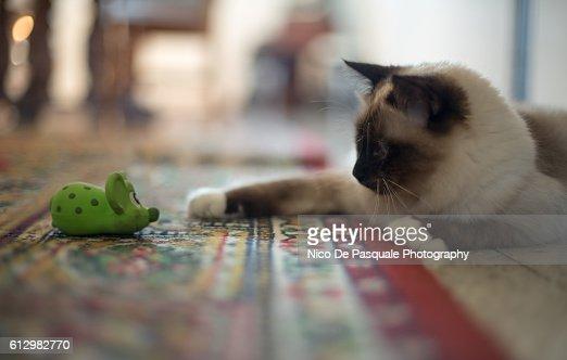 Young Birman kitten playing