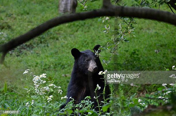 Young black bear smelling wildflowers