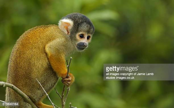 Young Black-Capped Squirrel Monkey