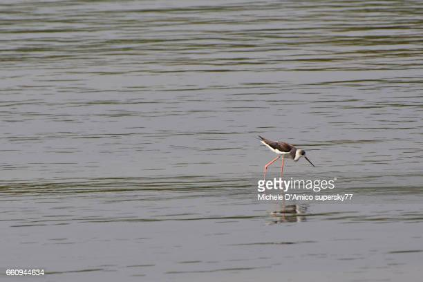 Young black-wingerd Stilt (Himantopus himantopus) fishing in the shallow waters of the Nile River