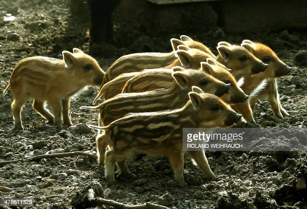 Young boars explore their enclosure at the Huelser Berg deer park in Krefeld western Germany on March 14 2014 Nine wild boar babies were born at the...