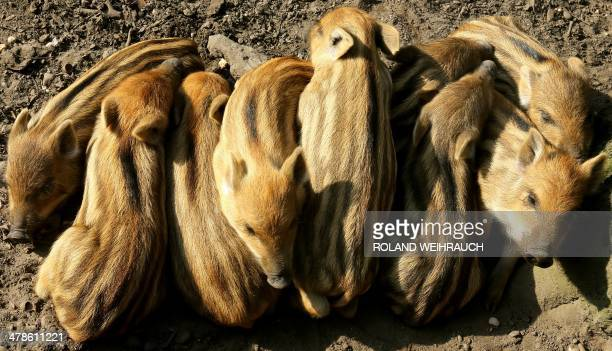 Young boars sleep in the sun at the Huelser Berg deer park in Krefeld western Germany on March 14 2014 Nine wild boar babies were born at the park at...