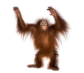Young Bornean orangutan standing, reaching up, Pongo pygmaeus, 18 months old, isolated on white