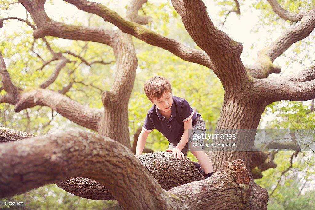 Young boy climbing an Oak tree