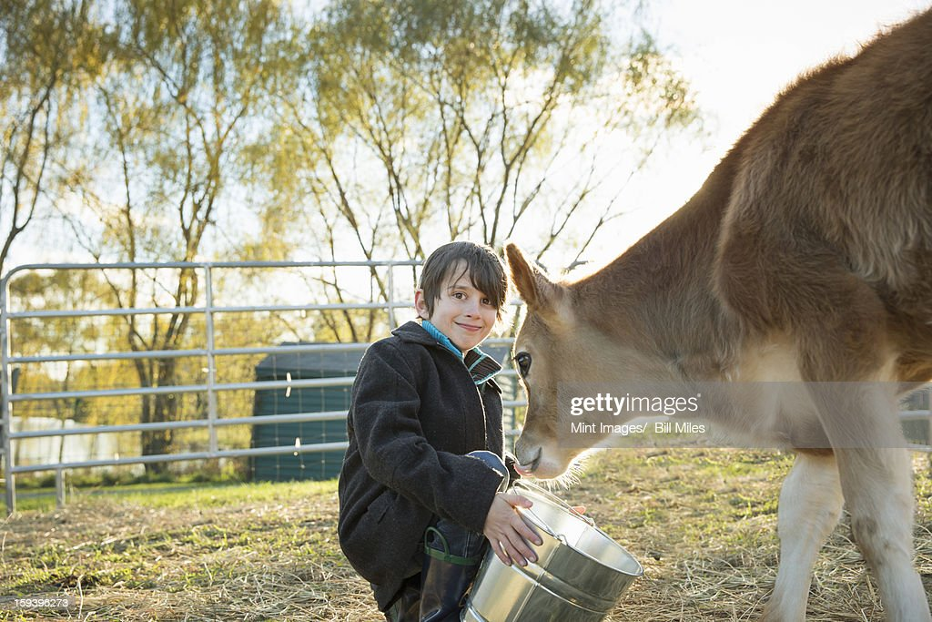 A young boy feeding a calf by bucket in a paddock at an sanctuary. : Stock Photo