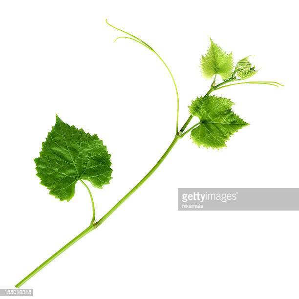 Junge Branch von grapevine