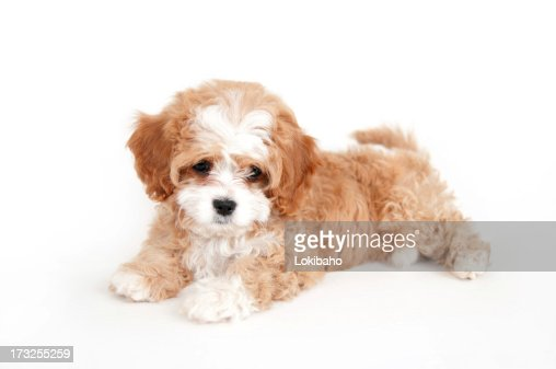 Young brown and white cavapoo puppy : Stock Photo