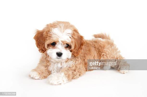 Young brown and white cavapoo puppy
