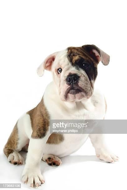 Hombre joven de color marrón y blanco Bulldog sentado en blanco mesa