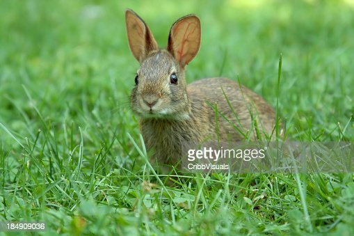 A young brown rabbit in a green garden