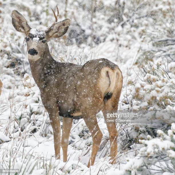 Young buck stands as snow falls
