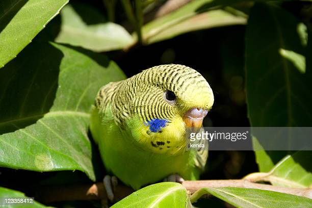 Young budgie in a tree