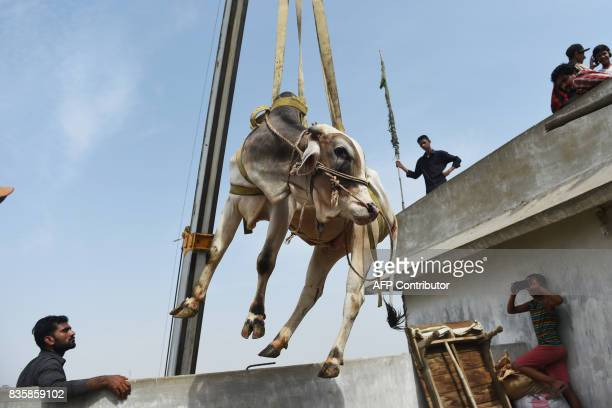 A young bull is lifted from the roof of a building with a crane during preparations for the annual Muslim festival of Eid alAdha in Karachi on August...