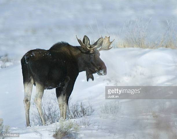 Young bull moose in winter