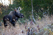 A young Alaska bull moose searches for cows during the fall breeding season.