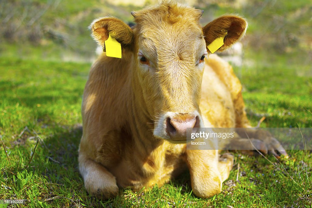 young calf : Stock Photo