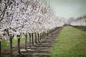 Young California almond orchard in bloom