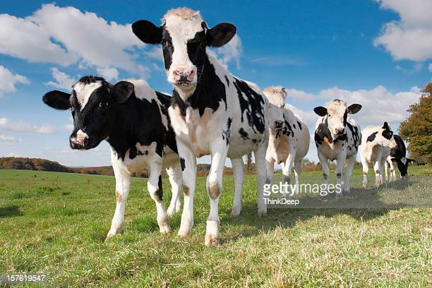Young calves and cows on the field