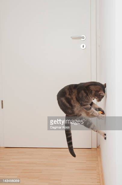 Young cat playing with ball and jumping on wall