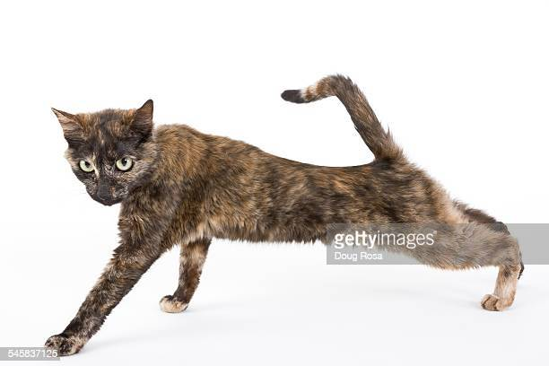 Young cat stretching