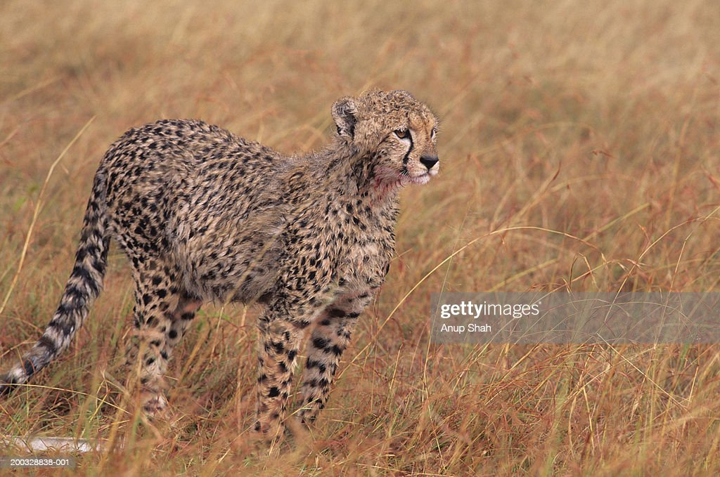 Young cheetah (Acinonyx jubatus), on savannah, Kenya : Stock Photo
