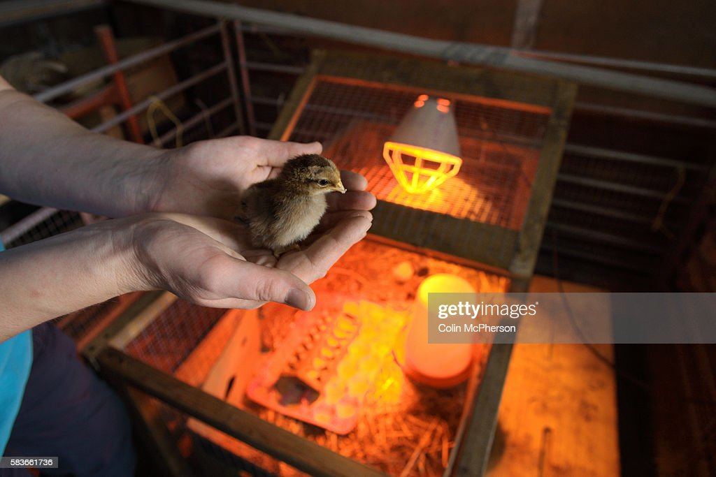 A young chick being held by an incubator at Abbey Leys Farm Peacock Lane High Legh near Knutsford Cheshire in northwest England which is owned and...